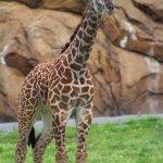 Masai Giraffe - photo by Katie Gregory