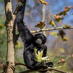 Siamang - photo by Amiee Stubbs
