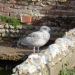 and this is a local sea gull