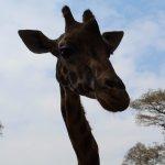 Giraffe ready to feed
