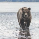 Alaska Bear Adventures Picture