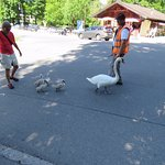 Human wranglers helped these swans stay safe in the roadway