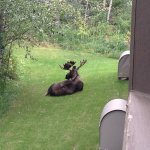 Moose from our condo