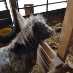 Φωτογραφία: Miniature Pony Centre