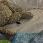 The bug on my sons bed at the Bella hotel daytona