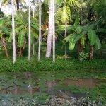 Lotus pond and greenery along