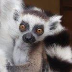 Baby Ring-tailed lemur 2017