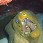 Green Moray getting her teeth cleaned!