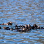 A raft of Otters! We have a 100 Otters that live in the bay.