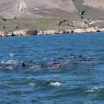 The Sea Lions having a blast acting like dolphins