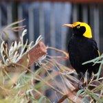 Male Regent Bowerbird