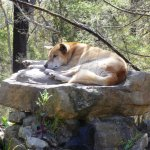 Pure-bred dingo lounges in the midday heat