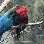 """A """"Scarlet Macaw"""" being preened by a """"Blue and gold Macaw"""""""