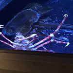 """A """"Japanese Giant Spider Crab"""" (""""largest known living arthropod"""")"""