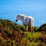 Horse on the coast path.