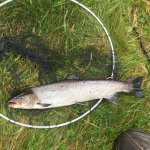 Tide liced fresh 5 pound salmon off The North Tyne