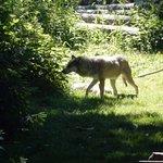Le premier loup vu par les enfants, un grand silence vient de s'installer...