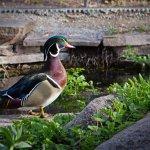 A duck surveys the pond at the BioPark Botanic Garden