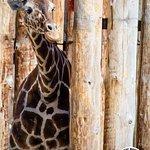 A giraffe peeks out at visitors
