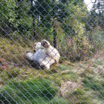Polar bear rolling around after a swim. Not a great view due to the chain link fence