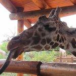 Feeding the girafes is a popular activity!