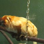 A golden lion tamarin just hanging out