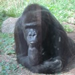 The gorilla is deep in thought...