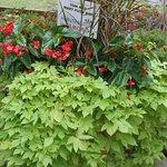 Sweet potato vine (Ipomoea batatas) and dragon wing Begonias.
