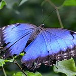 The elusive Blue Morpho - doesn't often stop with its wings open for a photo shoot!