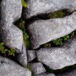 Ferns in limestone rock cracks