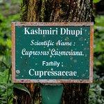 Kashmiri Dhupi- A tree