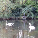 A crane surveys the morning swim of the swans