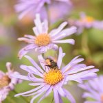 Flowers attractive to insects