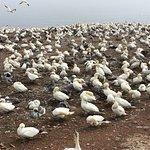 Northern Gannet Nesting Area