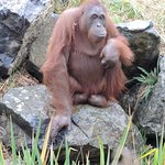Gorgeous orangutan!