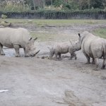A very cute baby rhino with a protective mother.