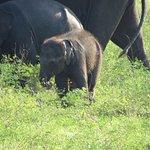 Baby elephant in Kaudulla