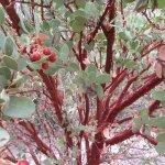 manzanita bush