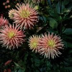 Dahlias in the night