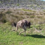 Ostrich on the drive into Cape of Good Hope