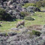 Kudu on the drive into Cape of Good Hope