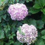 Les hortensias du Puits de Sophie