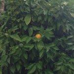 L'oranger du Puits de Sophie