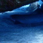 """White tip shark playing """"hide and seek"""""""