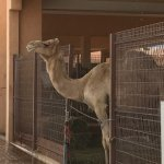 Photo of Camel Souk