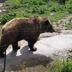 el oso impone
