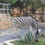 Zebras are free to wonder around