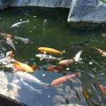 Surrounded above the beauty of this coy fish pond