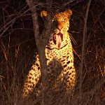 Resident Male Leopard on a night drive