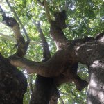 1,000 Year Old Platanus Tree